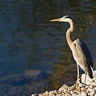Great Blue Heron at Water&#x27;s Edge by Kenneth Keifer