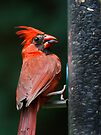 Cardinal Feasting on Sunflower Seeds by Kenneth Keifer
