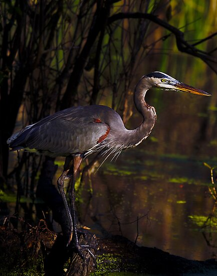 Great Blue Heron (Ardea herodias) by Paul Wolf