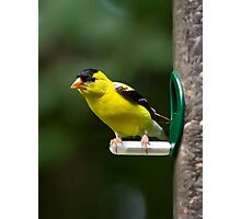 Goldfinch on Feeder Photographic Print
