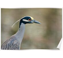 Yellow-Crowned Night Heron Portrait Poster