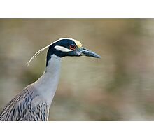 Yellow-Crowned Night Heron Portrait Photographic Print