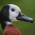 Portrait of a duck by Daniel  Parent