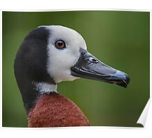 Portrait of a duck Poster