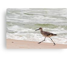 Willet (a type of sandpiper) Running Along the Beach Canvas Print