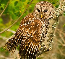 Barred Owl (Strix varia) by Paul Wolf