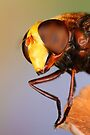 Hoverfly by jimmy hoffman