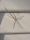 Stick insect (Ctenomorpha Chronus) by Margaret  Hyde