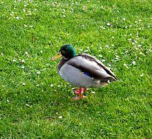 Mallard Duck by Jess Meacham