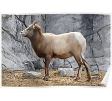 Mountain sheep in Canada Poster