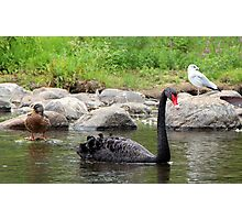 A Duck, a Swan and a Seagull Walked Into a Bar.... Photographic Print
