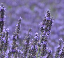 Lavender fields Sticker