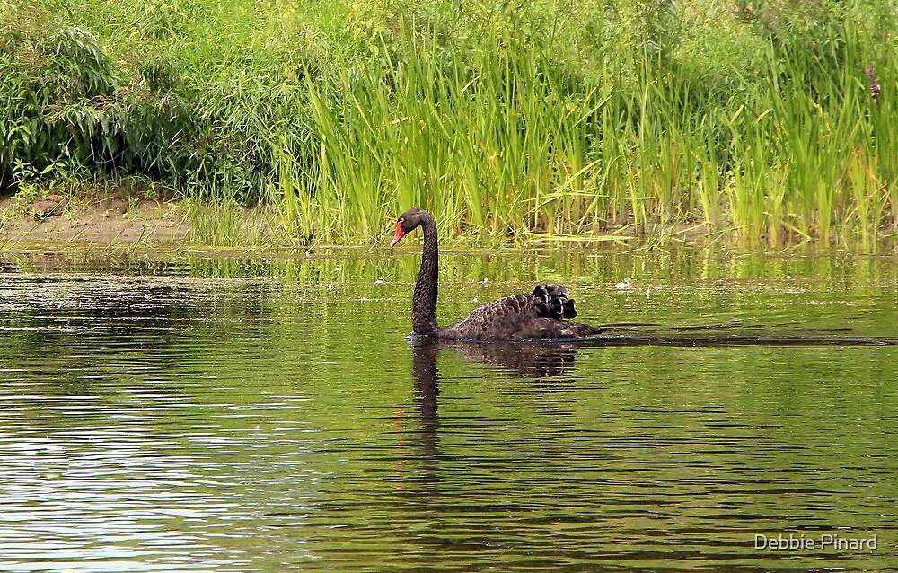 Black Swan, Ottawa Ontario by Debbie Pinard