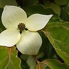 lightly sprinkled dogwood blossom by dedmanshootn