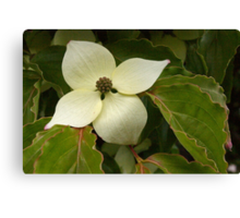 lightly sprinkled dogwood blossom Canvas Print