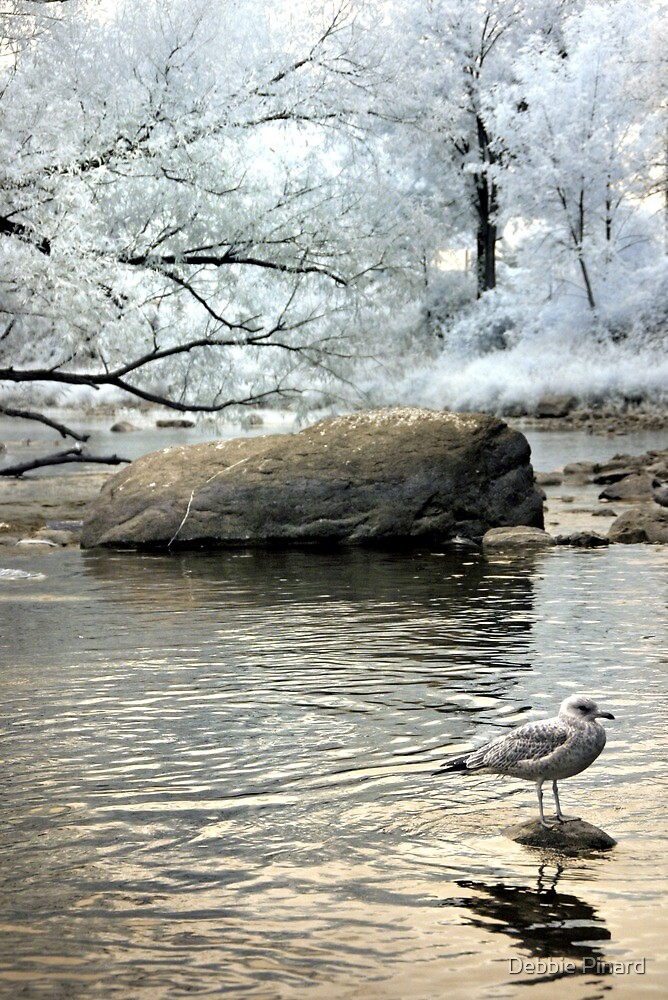 Seagull in Infrared - Rideau River Ottawa Ontario by Debbie Pinard