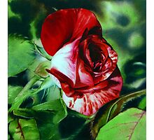 Peppermint Rose - Red Rose Watercolor Painting Photographic Print