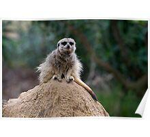 Meerkat King Of The Castle Poster