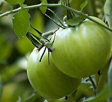 Green Tomatoes on the Vine by Sherry Hallemeier