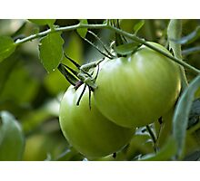 Green Tomatoes on the Vine Photographic Print