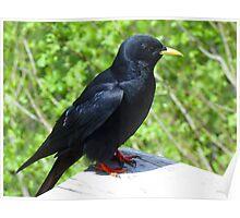 Jackdaw Bird Black Crow Poster