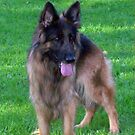 German Shepherd by Heidi Mooney-Hill