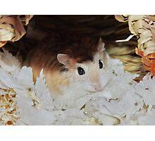 Roborovski Hamster called Cheese Photographic Print