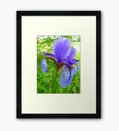 Iris Flower Blue Bloom Nature Framed Print