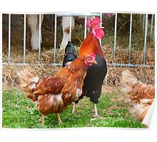 Hahn Gockel Crow Colorful Poultry Hen Poster