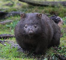 Digwell the Wombat. by Donovan wilson