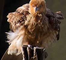 Whistling Kite by gamaree L