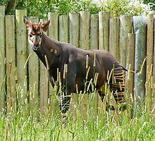 Okapi by AnnDixon