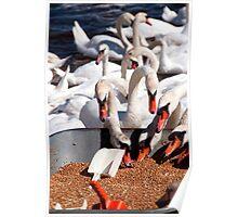 Swans feeding themselves, Abbotsbury swannery, Dorset Poster