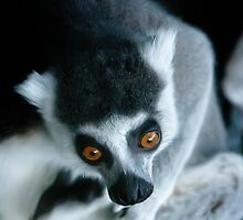 It's a Lemur! by bluetaipan
