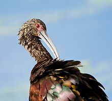White-faced Ibis (Plegadis chihi) by Paul Wolf