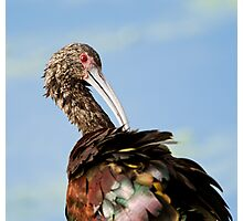 White-faced Ibis (Plegadis chihi) Photographic Print