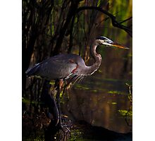 Great Blue Heron (Ardea herodias) in its Environment Photographic Print