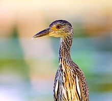 Juvenile Yellow-Crowned Night-Heron by Paul Wolf