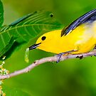 Prothonotary Warbler and Caterpillar by Paul Wolf