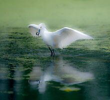 Snowy Egret, Soft Effect by Paul Wolf
