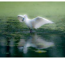 Snowy Egret, Soft Effect Photographic Print