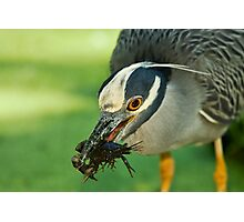 Yellow-Crowned Night-Heron Eating a Crawfish Photographic Print