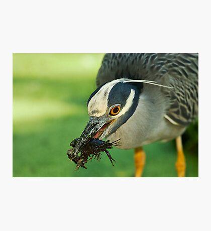 Yellow-Crowned Night-Heron Eating a Crawfish Photographic Print