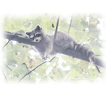 Hanging Out Raccoon Style - EX Photographic Print