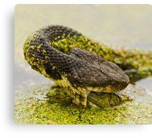 Water Moccasin (Agkistrodon piscivorus) Eating a Bullfrog, 3 of 4 Canvas Print