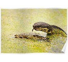 Water Moccasin (Agkistrodon piscivorus) Eating a Bullfrog, 1 of 4 Poster