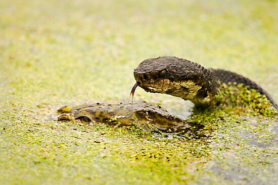 Water Moccasin (Agkistrodon piscivorus) Eating a Bullfrog, 1 of 4 by Paul Wolf
