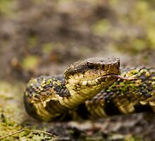 Water Moccasin (Agkistrodon piscivorus) by Paul Wolf