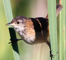 Marsh Wren by Dennis Cheeseman