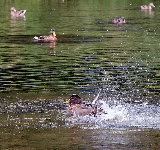 Duck Splashing - Ottawa Ontario by Debbie Pinard